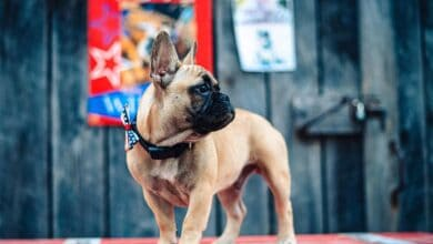 Photo of This French bulldog becomes the newly elected mayor of US town