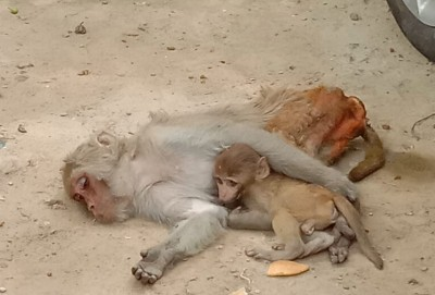 Over 50 monkeys poisoned to death in Telangana