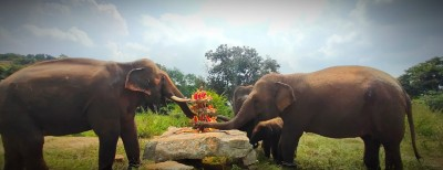 Rescued temple elephant adapts to new life in Bengaluru zoo