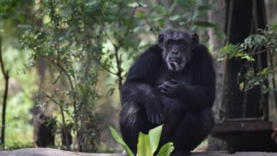 Photo of Only Chimpanzee at Hyderabad zoo dies at 35