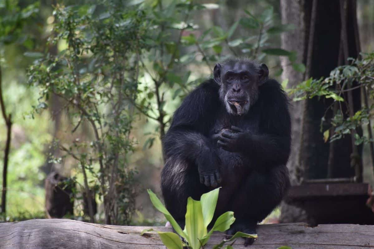 Suzi, the only chimpanzee in Hyderabad zoo, dies at 35