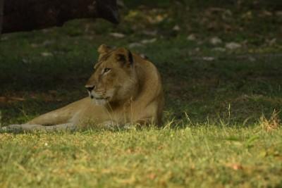 2 lion cubs born at Etawah Lion Safari