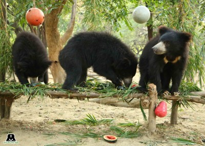 Five sloth bears celebrate one year of freedom at Agra care centre