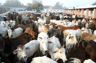 Gau Seva Aayog wants 'Kamdhenu Chair' in all UP varsities