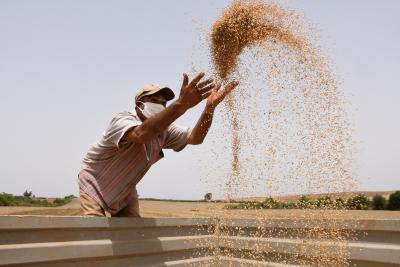 Haryana scientists develop early wheat sowing variety