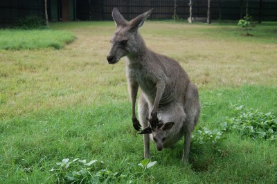 Kangaroos communicate with keepers to ask for help: Study