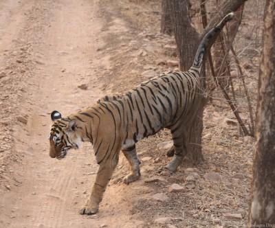 Lucknow Zoos' oldest tigress bids adieu