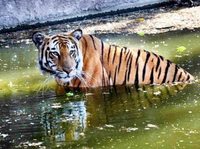Man-animal conflict: Telangana seeks NTCA help to deal with tigers