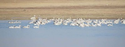 Over 400 migratory birds die mysteriously in Pong wetlands