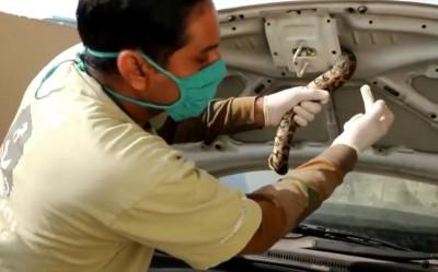 Python inside car's bonnet shocks family in Agra