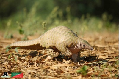 Rare pangolin rescued near Agra