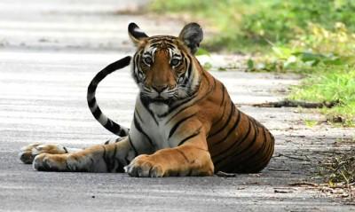 Re-wilding big prey animals help restoring tiger habitat: Study