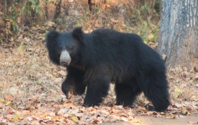 Two sloth bears rescued from well in Telangana