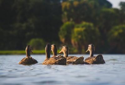 Duck farmers of Alappuzha, Kottayam face crisis over bird flu