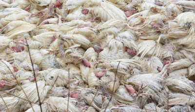 Ghazipur traders concerned over bird flu, fear losing revenue