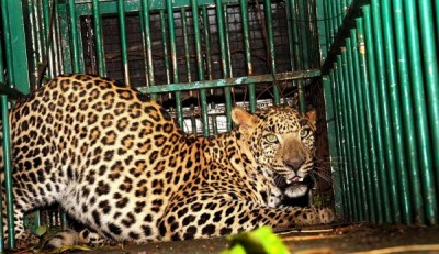 Leopard carcass found in UP district