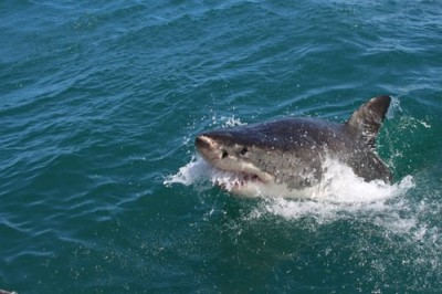 NZ woman killed in suspected shark attack