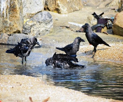 Samples of dead crows in Delhi sent for testing amid bird flu scare