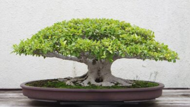 Hyderabad: Rare Bonsai plant stolen from retired IPS officer's house