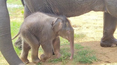 Name baby elephant born in Dudhwa & win gift