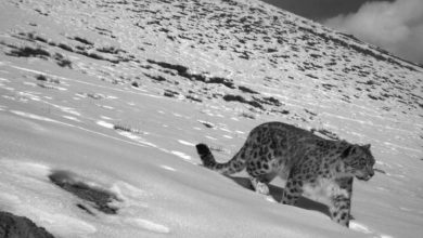 Over 70% snow leopard habitat remains unexplored: WWF